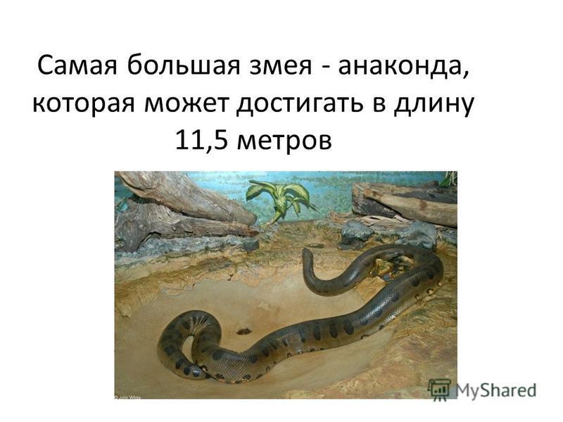 Самая большая змея - анаконда, которая может достигать в длину 11,5 метров
