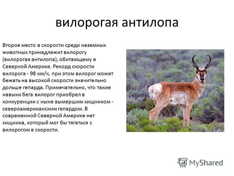 вилорогая антилопа Второе место в скорости среди наземных животных принадлежит вилорогу (вилорогая антилопа), обитающему в Северной Америке. Рекорд скорости вилорога - 98 км/ч, при этом вилорог может бежать на высокой скорости значительно дольше гепа