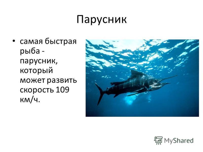 Парусник самая быстрая рыба - парусник, который может развить скорость 109 км/ч.
