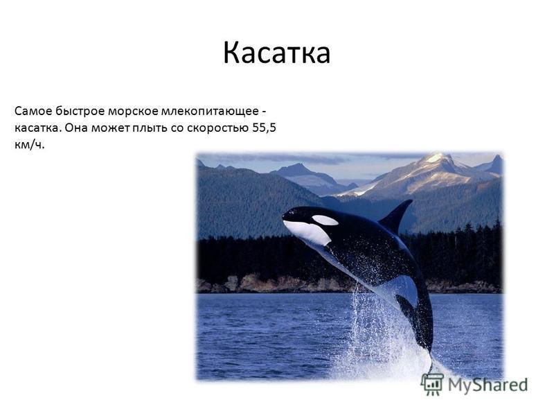 Касатка Самое быстрое морское млекопитающее - касатка. Она может плыть со скоростью 55,5 км/ч.