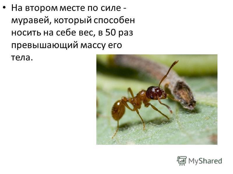 На втором месте по силе - муравей, который способен носить на себе вес, в 50 раз превышающий массу его тела.