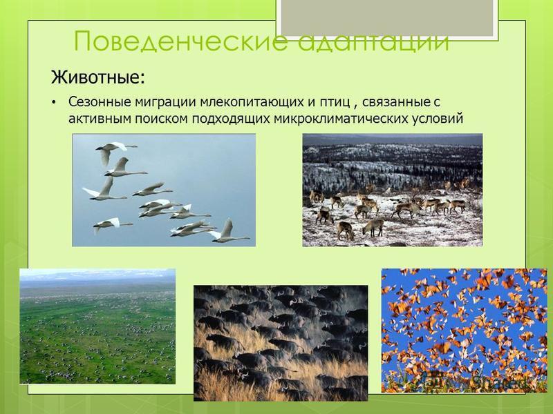 Поведенческие адаптации Животные: Сезонные миграции млекопитающих и птиц, связанные с активным поиском подходящих микроклиматических условий