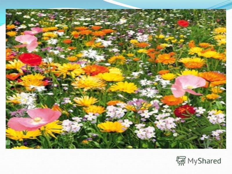 И.Соколов-Микитов «Одуванчики» У больших проезжих дорог, у лесных малых тропинок, в зеленых широких лугах, даже у самых порогов деревенских домов цветут одуванчики. Все знают эти простые цветы, похожие на маленькое солнце с золотыми лепестками-лучами