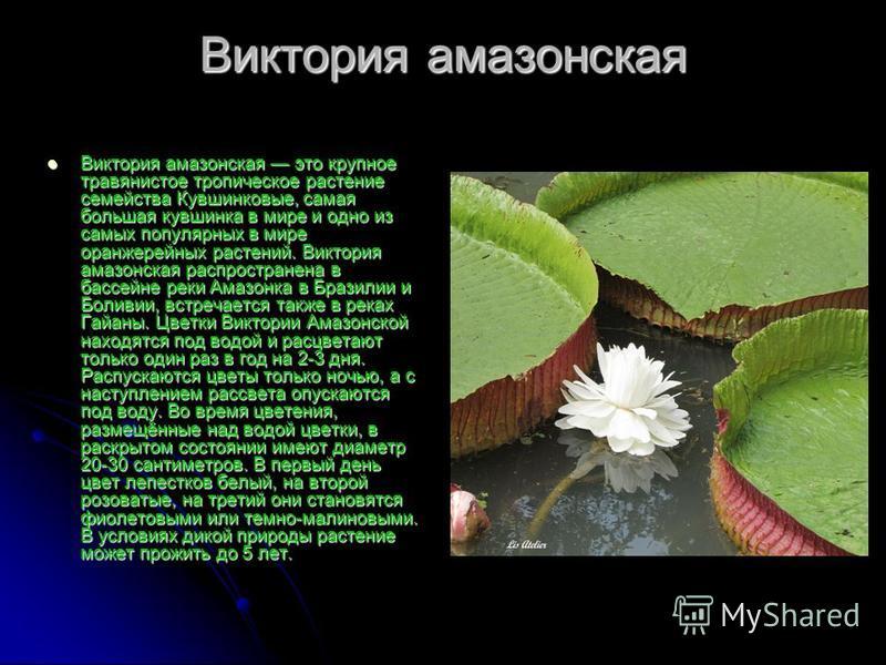 Виктория амазонская Виктория амазонская это крупное травянистое тропическое растение семейства Кувшинковые, самая большая кувшинка в мире и одно из самых популярных в мире оранжерейных растений. Виктория амазонская распространена в бассейне реки Амаз