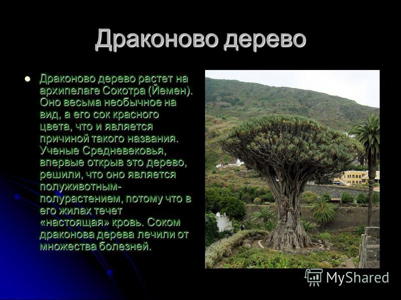 Драконово дерево Драконово дерево растет на архипелаге Сокотра (Йемен). Оно весьма необычное на вид, а его сок красного цвета, что и является причиной такого названия. Ученые Средневековья, впервые открыв это дерево, решили, что оно является полу жив