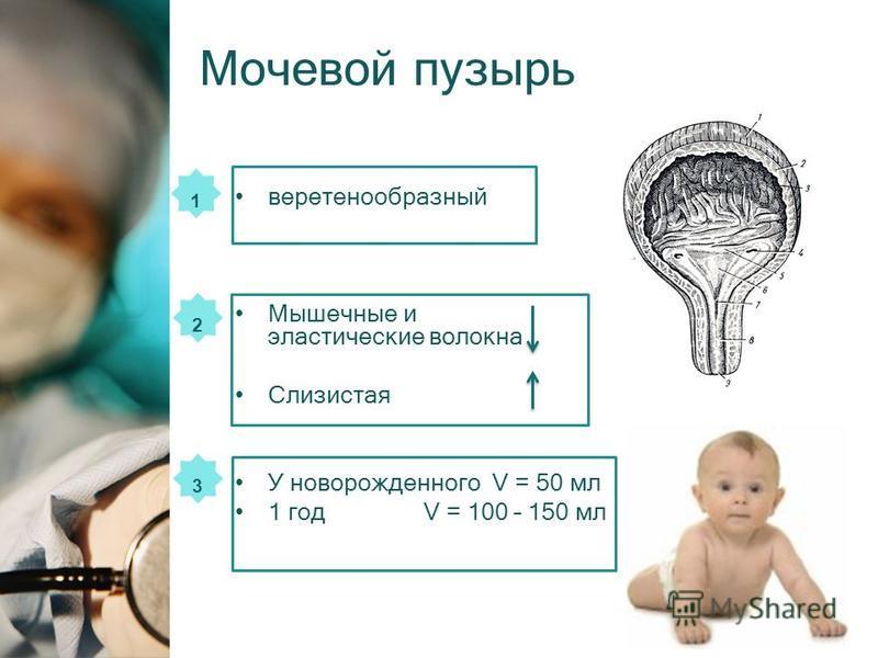 веретенообразный Мышечные и эластические волокна Слизистая У новорожденного V = 50 мл 1 год V = 100 – 150 мл 1 2 3