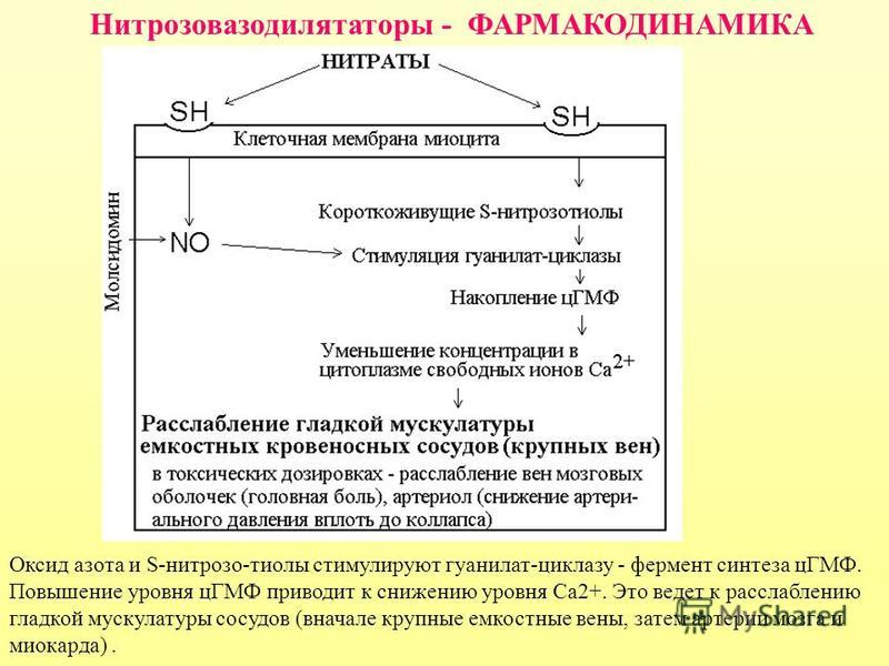 Нитрозовазодилятаторы - ФАРМАКОДИНАМИКА Оксид азота и S-нитрозо-тиолы стимулируют гуанилат-циклазу - фермент синтеза цГМФ. Повышение уровня цГМФ приводит к снижению уровня Са 2+. Это ведет к расслаблению гладкой мускулатуры сосудов (вначале крупные е