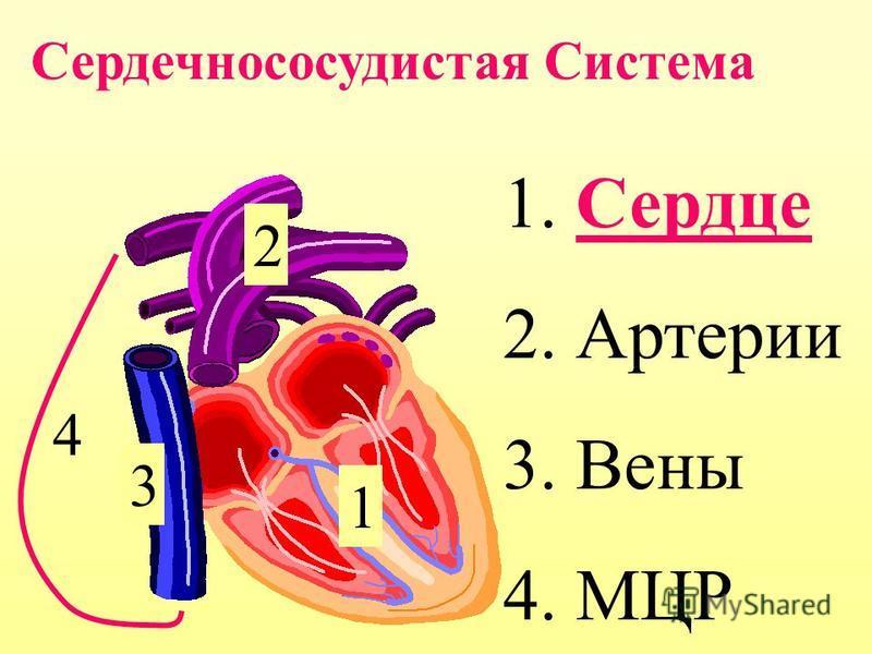 1. Сердце 2. Артерии 3. Вены 4. МЦР 1 2 3 4 Сердечноcосудистая Система