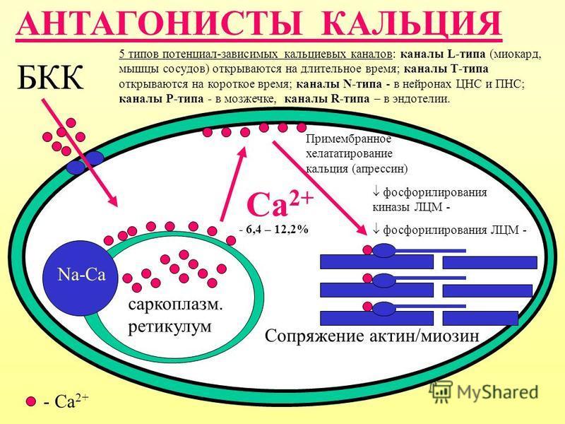 АНТАГОНИСТЫ КАЛЬЦИЯ БКК саркоплазм. ретикулум Сопряжение актин/миозин Са 2+ Na-Ca - Ca 2+ Примембранное хелататирование кальция (апрессин) 5 типов потенциал-зависимых кальциевых каналов: каналы L-типа (миокард, мышцы сосудов) открываются на длительно
