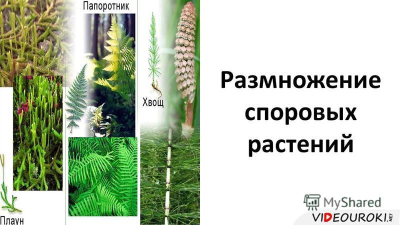 Размножение споровых растений