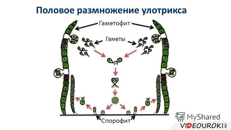 Половое размножение улотрикса Гаметофит Гаметы Спорофит