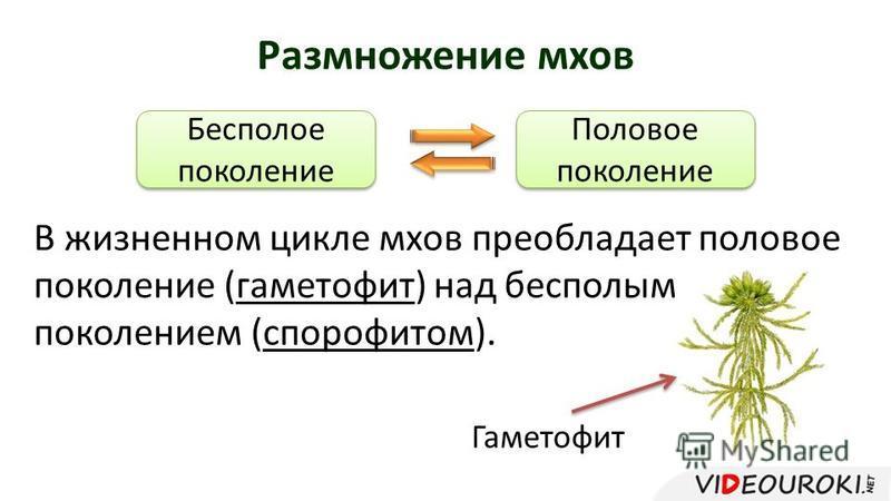 Размножение мхов Бесполое поколение Бесполое поколение Половое поколение Половое поколение В жизненном цикле мхов преобладает половое поколение (гаметофит) над бесполым поколением (спорофитом). Гаметофит