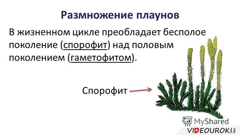 Размножение плаунов В жизненном цикле преобладает бесполое поколение (спорофит) над половым поколением (гаметофитом). Спорофит