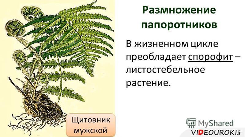 Размножение папоротников В жизненном цикле преобладает спорофит – листостебельное растение. Щитовник мужской