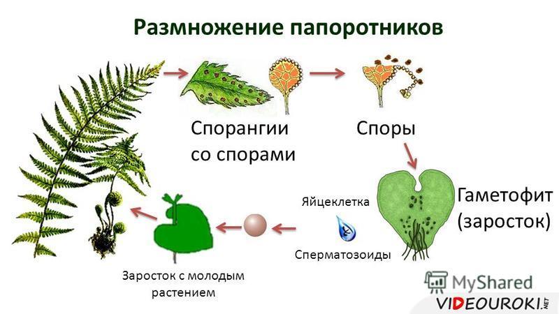 Размножение папоротников Спорангии со спорами Споры Гаметофит (заросток) Сперматозоиды Яйцеклетка Заросток с молодым растением