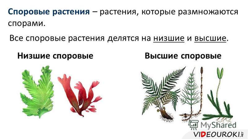 Споровые растения – растения, которые размножаются спорами. Все споровые растения делятся на низшие и высшие. Низшие споровые Высшие споровые