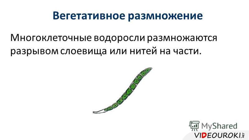 Вегетативное размножение Многоклеточные водоросли размножаются разрывом слоевища или нитей на части.