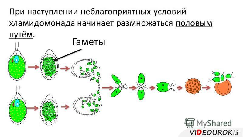 При наступлении неблагоприятных условий хламидомонада начинает размножаться половым путём. Гаметы