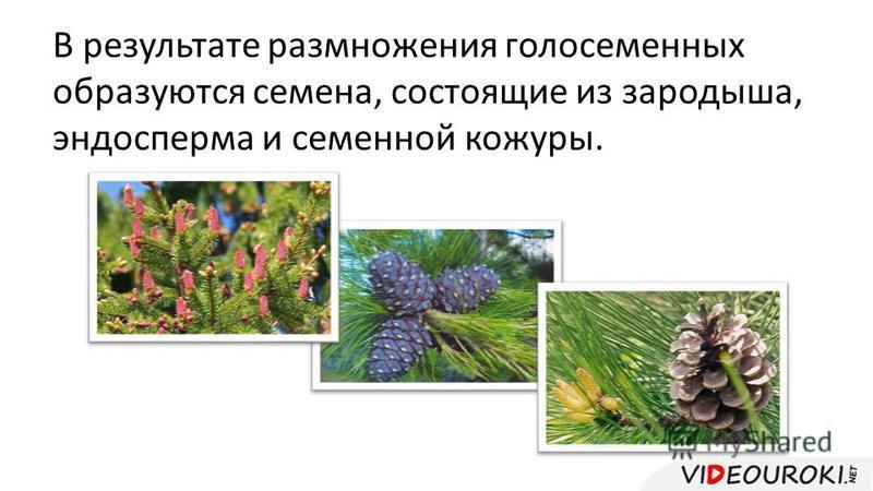 В результате размножения голосеменных образуются семена, состоящие из зародыша, эндосперма и семенной кожуры.