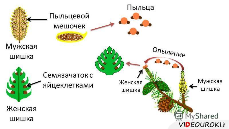 Пыльцевой мешочек Мужская шишка Женская шишка Опыление Мужская шишка Женская шишка Семязачаток с яйцеклетками Пыльца