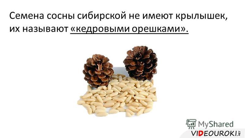 Семена сосны сибирской не имеют крылышек, их называют «кедровыми орешками».