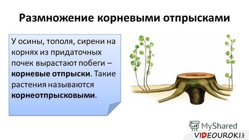 Размножение корневыми отпрысками У осины, тополя, сирени на корнях из придаточных почек вырастают побеги – корневые отпрыски. Такие растения называются корнеотпрысковыми.
