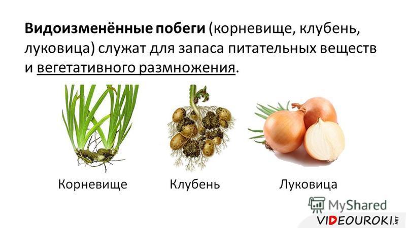 Видоизменённые побеги (корневище, клубень, луковица) служат для запаса питательных веществ и вегетативного размножения.