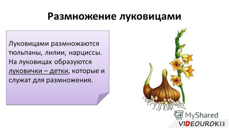 Размножение луковицами Луковицами размножаются тюльпаны, лилии, нарциссы. На луковицах образуются луковички – детки, которые и служат для размножения.