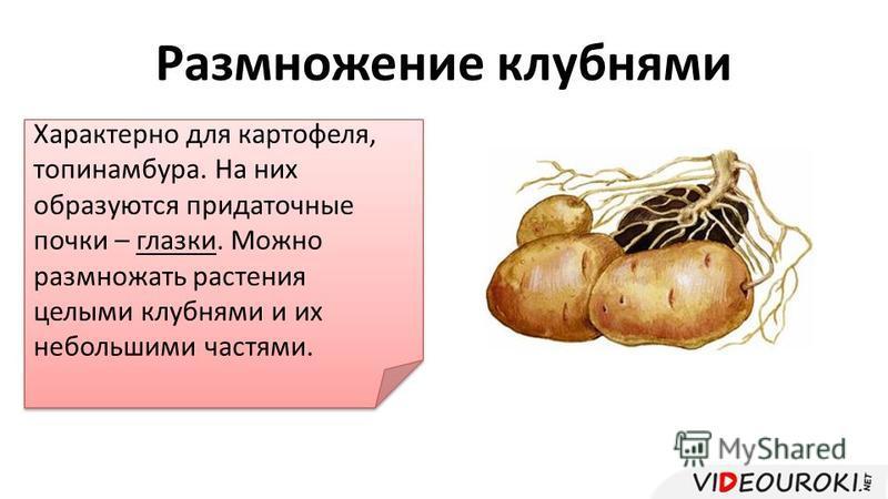 Размножение клубнями Характерно для картофеля, топинамбура. На них образуются придаточные почки – глазки. Можно размножать растения целыми клубнями и их небольшими частями.