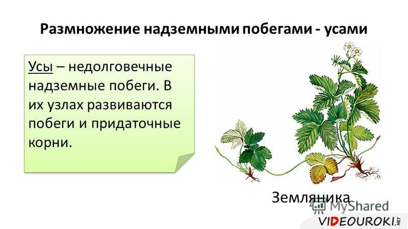 Размножение надземными побегами - усами Земляника Усы – недолговечные надземные побеги. В их узлах развиваются побеги и придаточные корни.