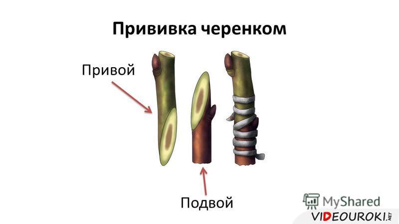 Прививка черенком Привой Подвой