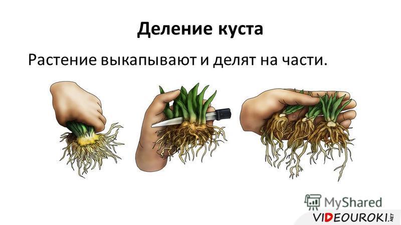 Деление куста Растение выкапывают и делят на части.