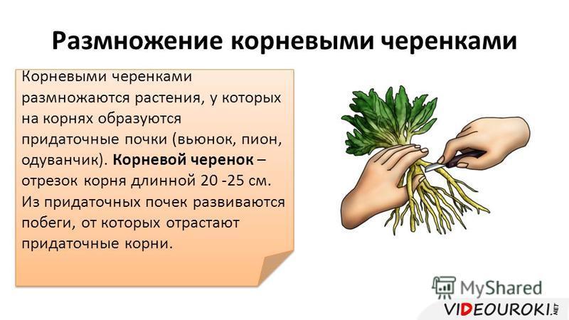 Размножение корневыми черенками Корневыми черенками размножаются растения, у которых на корнях образуются придаточные почки (вьюнок, пион, одуванчик). Корневой черенок – отрезок корня длинной 20 -25 см. Из придаточных почек развиваются побеги, от кот