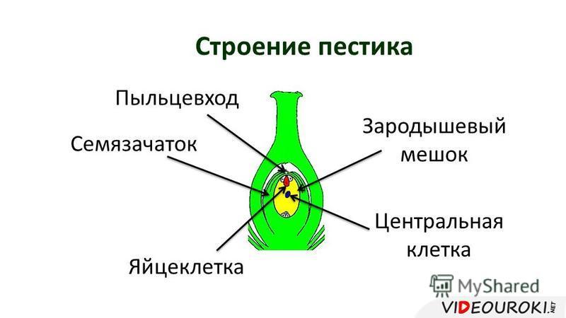 Строение пестика Семязачаток Зародышевый мешок Пыльцевход Центральная клетка Яйцеклетка