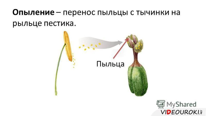 Опыление – перенос пыльцы с тычинки на рыльце пестика. Пыльца