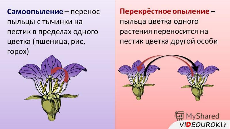 Самоопыление – перенос пыльцы с тычинки на пестик в пределах одного цветка (пшеница, рис, горох) Перекрёстное опыление – пыльца цветка одного растения переносится на пестик цветка другой особи