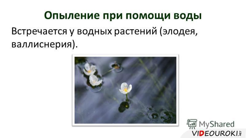 Опыление при помощи воды Встречается у водных растений (элодея, валлиснерия).