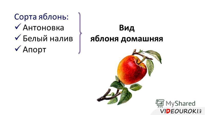 Сорта яблонь: Антоновка Белый налив Апорт Вид яблоня домашняя
