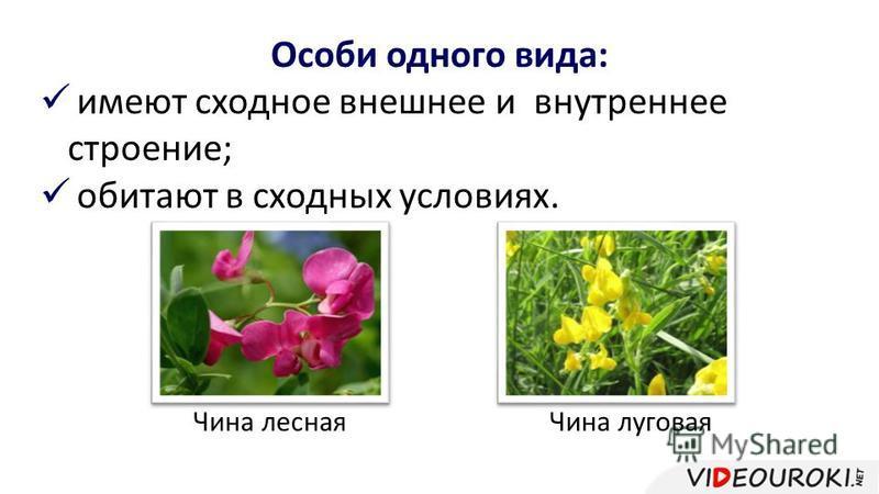 Особи одного вида: имеют сходное внешнее и внутреннее строение; обитают в сходных условиях. Чина лесная Чина луговая
