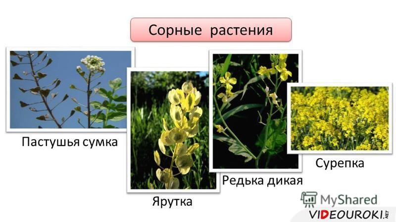Сорные растения Пастушья сумка Ярутка Редька дикая Сурепка