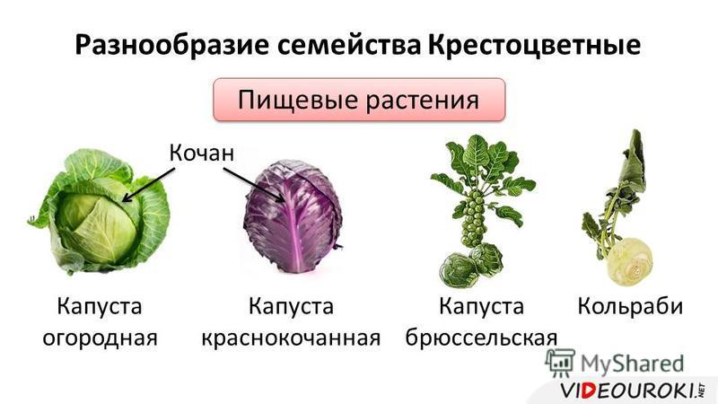 Разнообразие семейства Крестоцветные Пищевые растения Капуста огородная Капуста краснокочанная Кочан Капуста брюссельская Кольраби