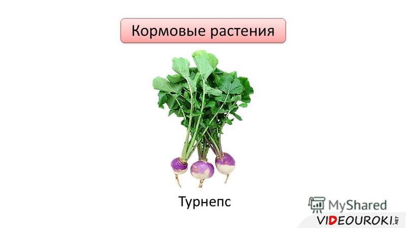Кормовые растения Турнепс