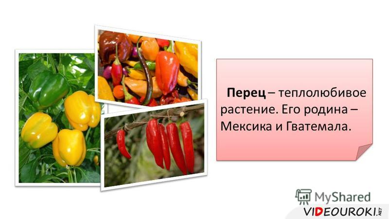 Перец – теплолюбивое растение. Его родина – Мексика и Гватемала.