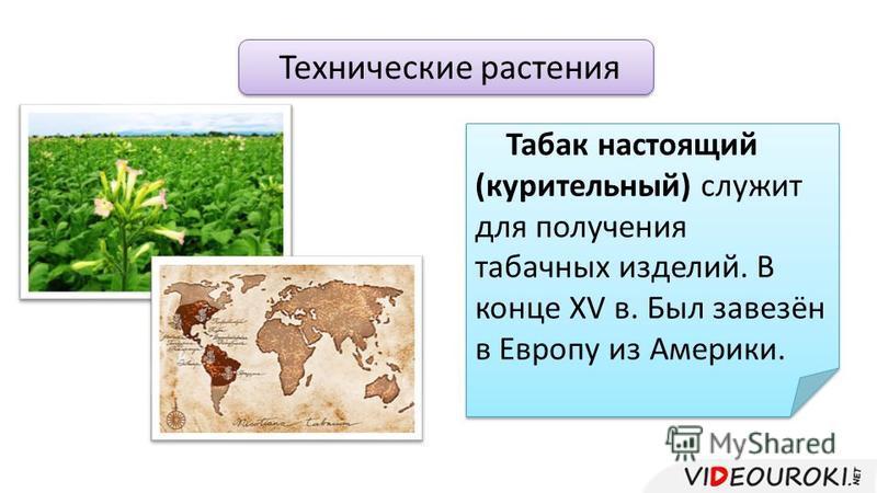 Технические растения Табак настоящий (курительный) служит для получения табачных изделий. В конце XV в. Был завезён в Европу из Америки.