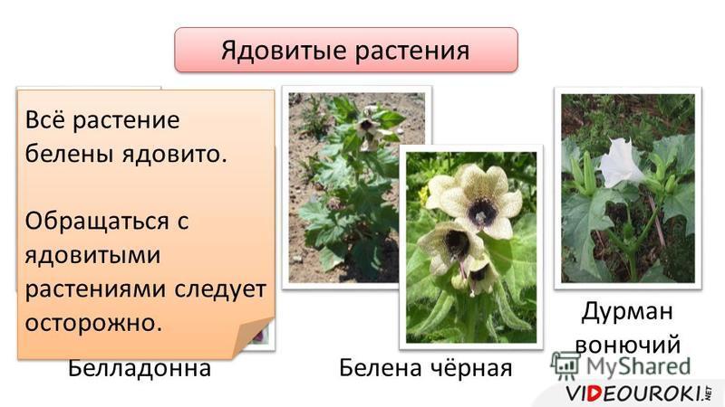 Ядовитые растения Белладонна Белена чёрная Дурман вонючий Всё растение белены ядовито. Обращаться с ядовитыми растениями следует осторожно. Всё растение белены ядовито. Обращаться с ядовитыми растениями следует осторожно.