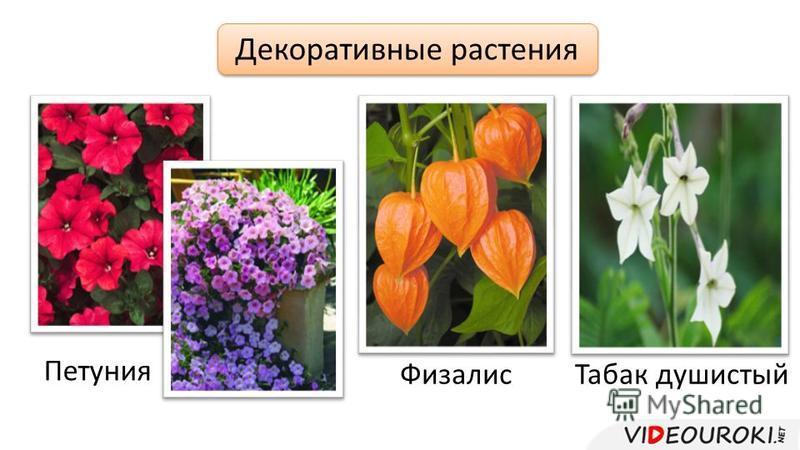 Декоративные растения Петуния Физалис Табак душистый