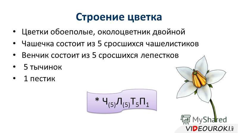 Строение цветка Цветки обоеполые, околоцветник двойной Чашечка состоит из 5 сросшихся чашелистиков Венчик состоит из 5 сросшихся лепестков 5 тычинок 1 пестик * Ч (5) Л (5) Т 5 П 1