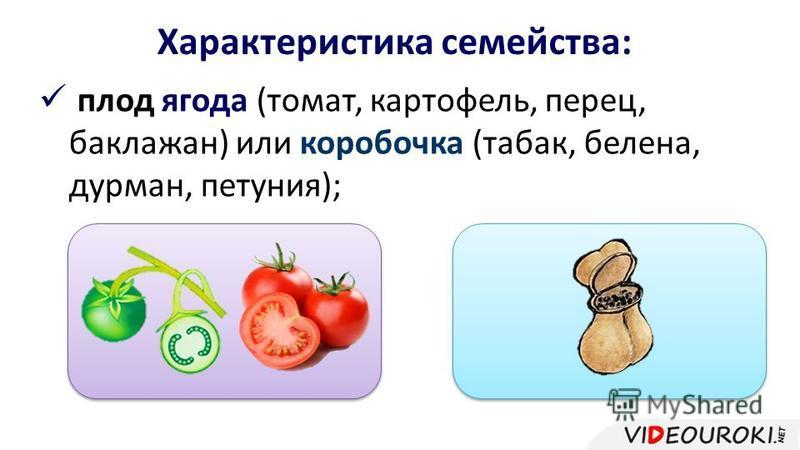 Характеристика семейства: плод ягода (томат, картофель, перец, баклажан) или коробочка (табак, белена, дурман, петуния);