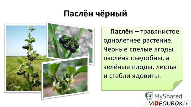 Паслён чёрный Паслён – травянистое однолетнее растение. Чёрные спелые ягоды паслёна съедобны, а зелёные плоды, листья и стебли ядовиты.