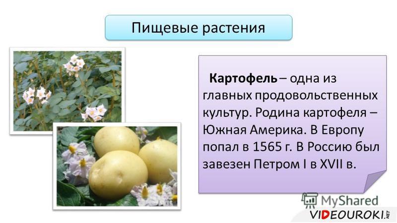 Пищевые растения Картофель – одна из главных продовольственных культур. Родина картофеля – Южная Америка. В Европу попал в 1565 г. В Россию был завезен Петром I в XVII в.